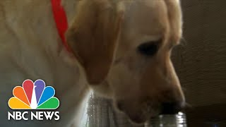 Behind The Scenes With Dogs Being Trained To Detect COVID-19 | NBC Nightly News