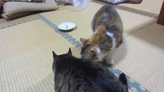キジトラ猫のリキとニャンず。12月15日 thumbnail