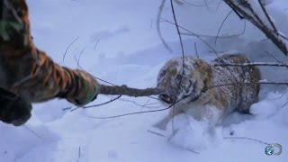 Orphaned Tiger Cub Capture