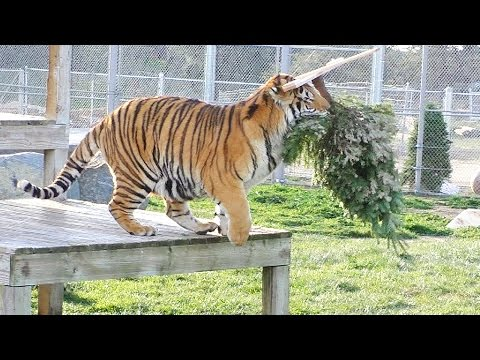A GRRReat Christmas! Lions Tigers & Bears