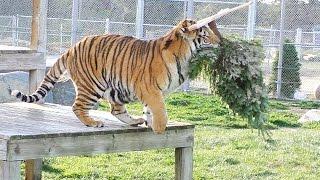 A GRRReat Christmas! Lions Tigers & Bears thumbnail