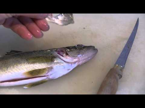 How To Easily Determine The Age Of Walleye, Perch And Sauger