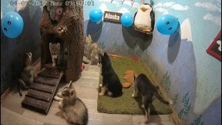 """Хасята онлайн.  Сезон 3 """"Хаскопокалипсис""""  Husky online husky puppies"""