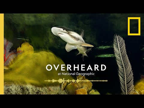The Surprising Superpowers of Sharks | Podcast | Overheard at National Geographic
