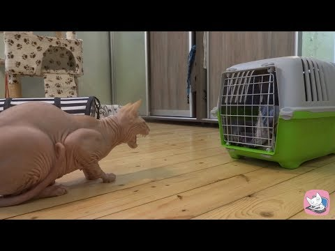 Funny Canadian Sphynx cat Casper meets the guest - British cat Lira with a tempestuous hiss