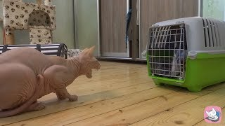Funny Canadian Sphynx cat Casper meets the guest  British cat Lira with a tempestuous hiss