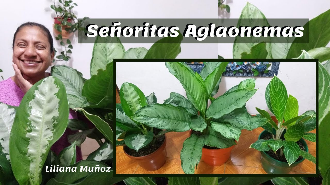 SEMBRANDO AGLAONEMAS / Liliana Muñoz