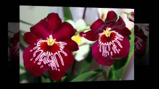 Орхидеи / Orchids(Уход за цветком орхидея Как говорила Коко Шанельпро про незаменимость, так и орхидея в своем разнообразии..., 2015-08-06T07:29:38.000Z)