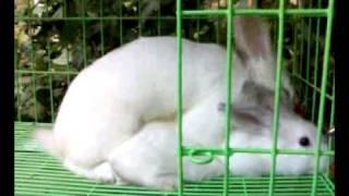 ผสมพันธุ์กระต่าย