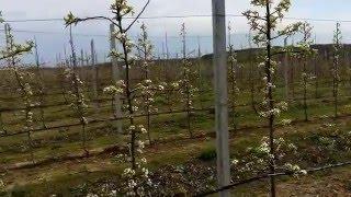 видео Зимние работы в интенсивном яблоневом саду»