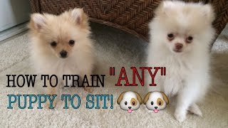 HOW I TRAINED MY POMERANIAN PUPPIES TO SIT! QUICK & EASY!!