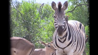 Bowhunting a Zebra W/ African Bowhunting Adventures