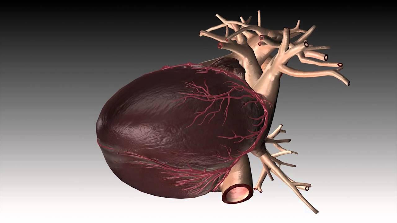 Human heart beat animation 3d animation multimedia portfolio youtube ccuart Images