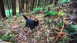 甲斐犬・桜と八重の山入れ訓練.