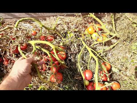 Урожай томатов открытого грунта 2020 года