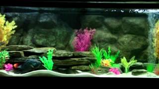 Eyes on 55 Gallon Jack Dempsey Cichlid Aquarium