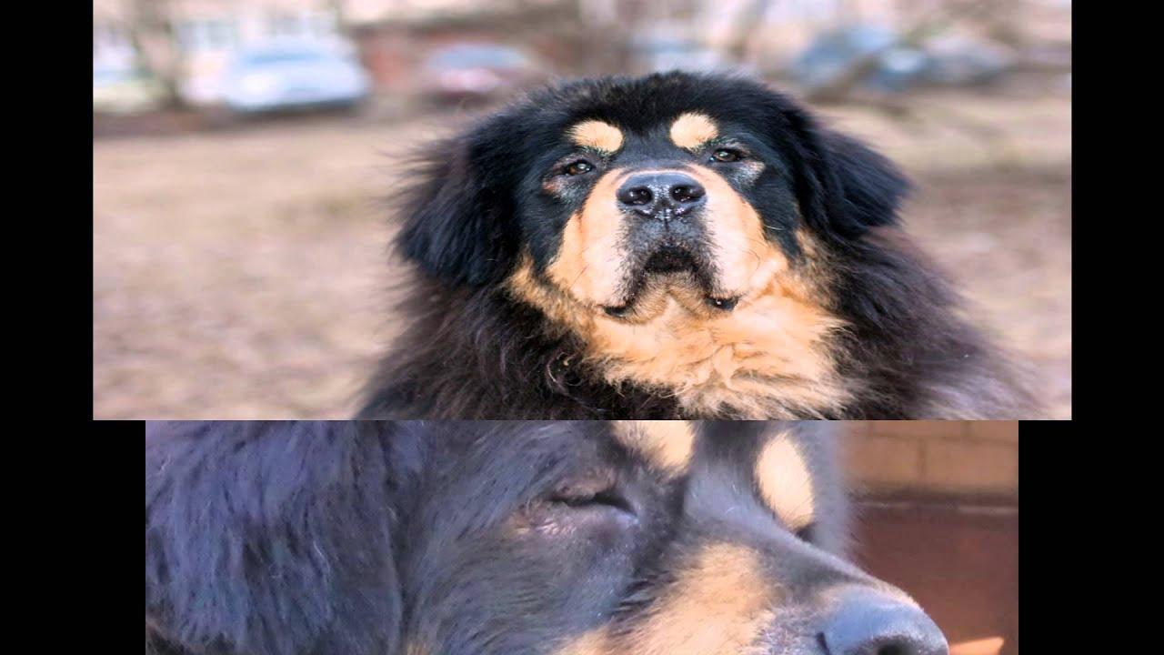 1 авг 2012. Вес одного животного может достигать 100 кг. Собака. Щенок тибетского мастифа. 2. Французский мастиф. На втором месте по своей средней стоимости расположился европейский собрат тибетца французский мастиф. Средняя цена за щенка этой породы составляет порядка 3 тыс. Дол.