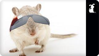 Hamster Wearing Google Glasses - Google Glass Parody - Hamster Cam - Petody ®