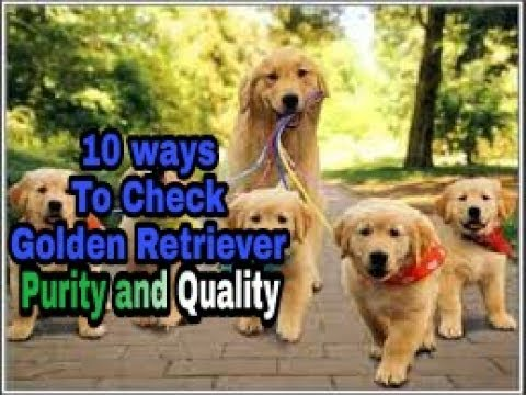Golden Retriever Purity and Quality how to check ?? in hindi || pure or mix breed || dogs biography