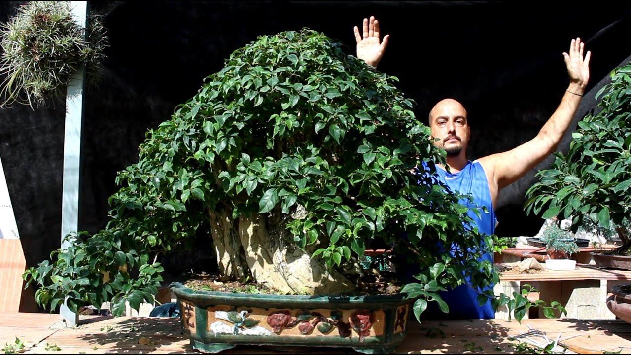 C mo mantener una buganvilla bonsai youtube for Bonsai vendo