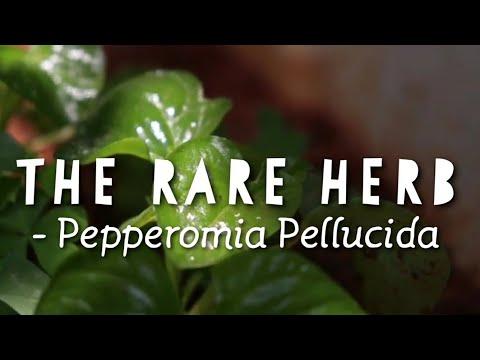 Peperomia pellucida   Silver bush   pepper elder   little heart plant #plants #herb #englishvlog