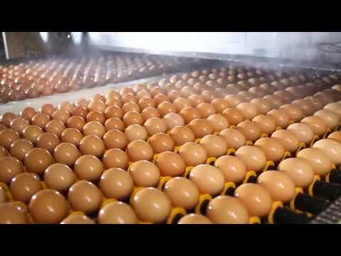 Mega layer poultry farm of CP Group in China, full Automatic and Ecology