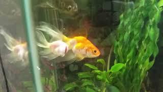 Золотая рыбка поменяла окрас!!!