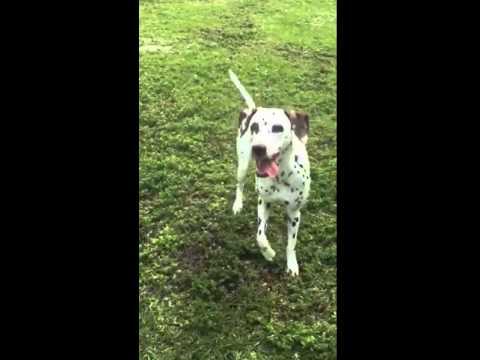 Dalmatian Dog Tricks and Skills