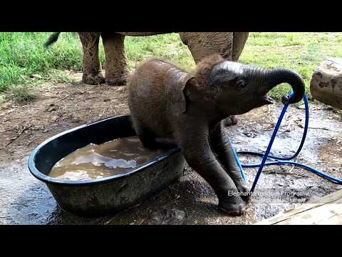 Baby elephant want to play with mahout who pour water for him