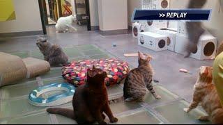 Cat high jump world record broken @ARISTIDE Cat Hotel