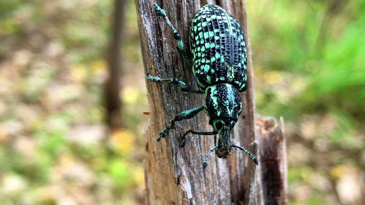 Must see!!!! crazy Australian Native Beetle !!!