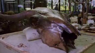 Excavating Proof of Bison Migration - Secrets of the Ice Age Death Trap - BBC