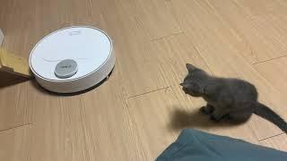 로봇청소기를 처음 본 아기고양이