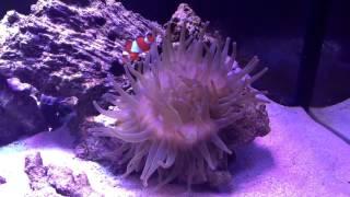 видео Клоуны и актинии. Наблюдаем за тайнами живой природы в аквариуме