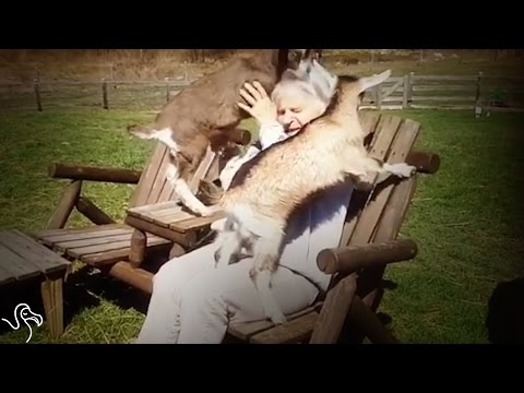 Rescued Baby Goats Can't Get Enough Attention From Their New Family