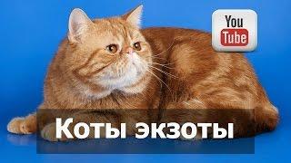 Коты экзоты