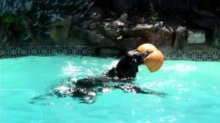 Black Labrador Deprives Poodle Of His Ball