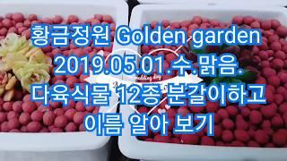[황금정원 Golden garden,  다육식물 키우기 Succulent plant] 미니미니해서 더 사랑스…