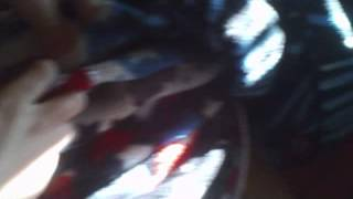 Jack Russel/ Dachshund Mix Stuck In A Blanket.wmv