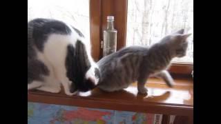 Кошка Матрёшка смотрит в окошко.