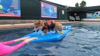 5 Month Old Pembroke Welsh Corgi Puppy Gets Familiar With The Water & Swimming 3