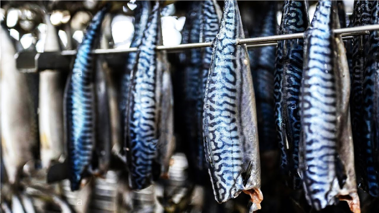 Modern Mackerel Fishing - Canned Fish Processing Line - Mackerel Processing Technology in Factory