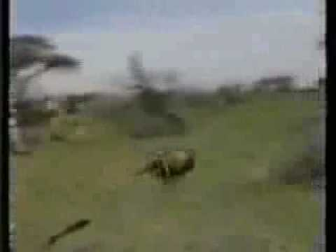 Lion hunting gone wrong