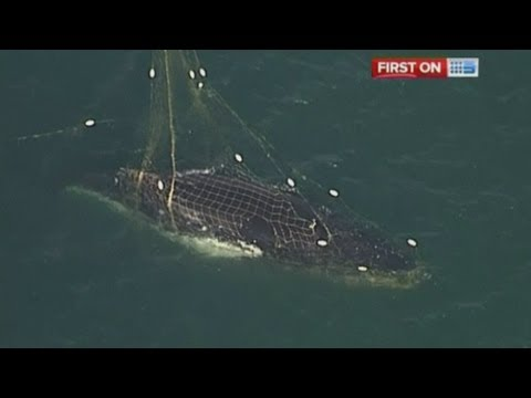 Humpback whale freed from shark net off the Australian coast