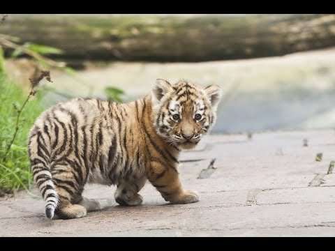 De tijgerwelpjes spelen voor het eerst buiten in DierenPark Amersfoort - Lange versie