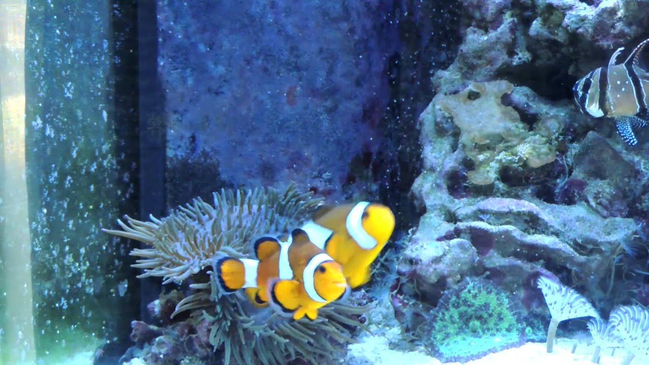 Where Do Clownfish Live | How Long Do Clownfish Live Youtube