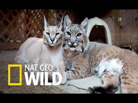 Wild Balkan - Fighting For Survival (Nag Geo Wild)