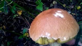 Поход за грибами 2016. (Такой лес)