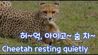[Serengeti Plus⁺, 세렝게티 플러스⁺] 28이럴수가?! 자칼의 먹이를 뺏는 치타/ OMG?! Cheetah stealing jackal's meal