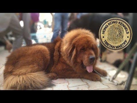 Tibetan mastiff dog Punjab, india